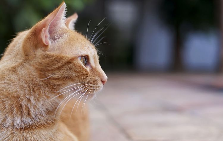 Ojo de gato. #CatEyes Animal Body Part Animal Eye Animal Head  Animal Themes Cat Close-up Contemplation Domestic Domestic Animals Domestic Cat Feline Focus On Foreground Ginger Cat Looking Looking Away Mammal No People One Animal Pets Profile View Side View Tabby Vertebrate Whisker