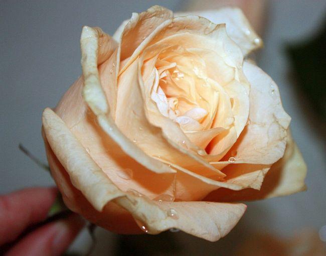 розы цветы цветок  красота любовь прекрасное Roses Flowers Beautiful Love