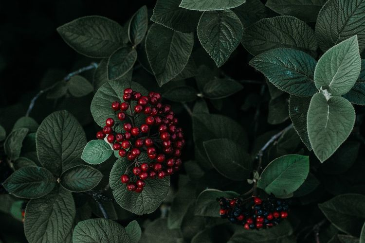 red berries Red Berries Plants Christmas Decoration Fruit Leaf Christmas Red christmas tree Close-up Green Color Food And Drink Rowanberry Christmas Ornament Flower Head Bauble Blackberry Stamen Berry Christmas Bauble Pollen Fairy Lights In Bloom Dahlia