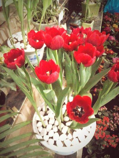 Tuylip Flower Flowers Đại Học Nông Nghiệp Hà Nội Vietnam