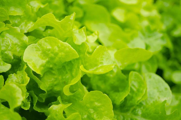 Agriculture Branch Foliage Food Fresh Freshness Garden Gardening Green Growth Healthy Herbal Leaf Nature Oakleaf Organic Plant Salad Vegetable