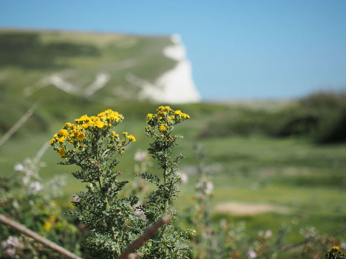Brighton Seven Sisters Seven Sisters Cliffs English Coastline England Great Britain Plant Flower Flowering Plant Beauty In Nature Field Vulnerability  Growth Selective Focus Tranquility Outdoors Flower Head Land Nature Landscape Freshness Environment Fragility Yellow Blossom