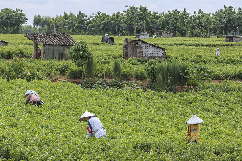 HengXian, China - August 10, 2017: People picking Jasmine Flowers in a Jasmine Plantation in HengXian, the Chinese capital of Jasmine ASIA Guangxi Jasmine Nanning Tea Agriculture Beauty In Nature Bloom Blooming China Day Field Flowers Grass Green Color Growth Hengxian Jasmine Flower Jasmine Tea Landscape Nature Outdoors Rural Scene Tree
