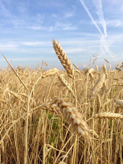 Wheat ways
