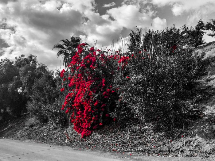 Duality Duality Of Nature Blackandwhite Blackandwhite Photography Growth Tree Red Nature Cloud - Sky Outdoors Sky No People Beauty In Nature Day Flower
