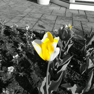 Yellow tulip Flower Head Flower Yellow Petal Close-up Blooming Plant