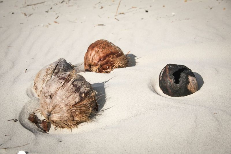 coconuts in beach Sand Sea Life Outdoors Nature No People Day Coconut Beautiful Nature Beach