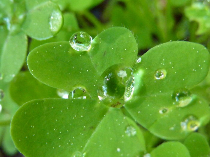 Animal Themes Beauty In Nature Close-up Clover Day Dew Dewdrops Drop Focus On Foreground Fragility Freshness Green Green Color Growth Irish Leaf Nature No People Outdoors Plant RainDrop Selective Focus St. Patrick's Day Water Wet