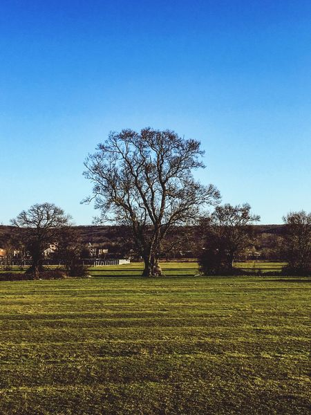 Tree Clear Sky Nature Tranquility Tranquil Scene Field Bare Tree Blue Landscape Grass Scenics No People Outdoors Day Beauty In Nature Rural Scene Sky