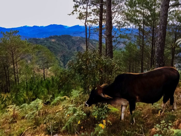 Hardworking carabao Mountain Landscape Field Outdoors Beauty In Nature Grass