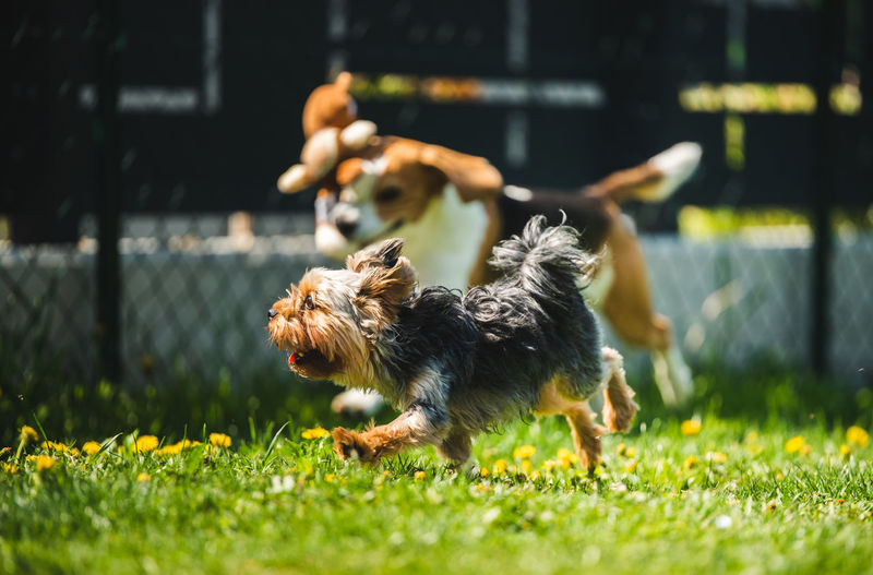 Cute yorkshire terrier dog and beagle dog chese each other in backyard. running and jumping