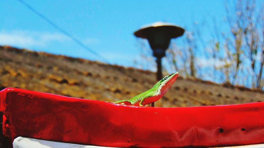 Rinde caído del cielo Reptile Red Sand Dune Close-up Animal Themes Sky