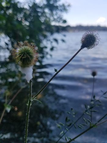 Flower Nature Growth Plant Fragility Outdoors Day Freshness Focus On Foreground No People Beauty In Nature Uncultivated Close-up Water Thistle Flower Head Sky
