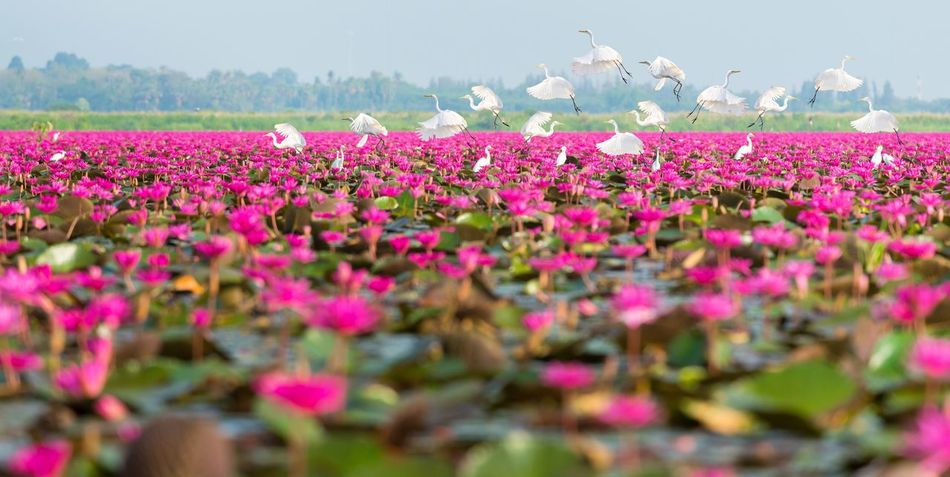 White herons flying and standing on lake have pink lotus blooming field around. Field Blossom Blooming Pink Lotus Heron White Flower Flowering Plant Plant Beauty In Nature Growth Pink Color Freshness Nature Day Field Springtime Selective Focus