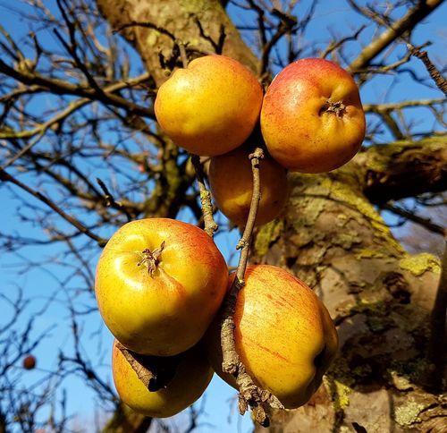 Apple - Fruit Apples Fruit Photography Season  Tree Branch Fruit Hanging Mediterranean Food Agriculture Ripe Close-up Fruit Tree Apple Blossom Apple Tree Vitamin C Picking Apple