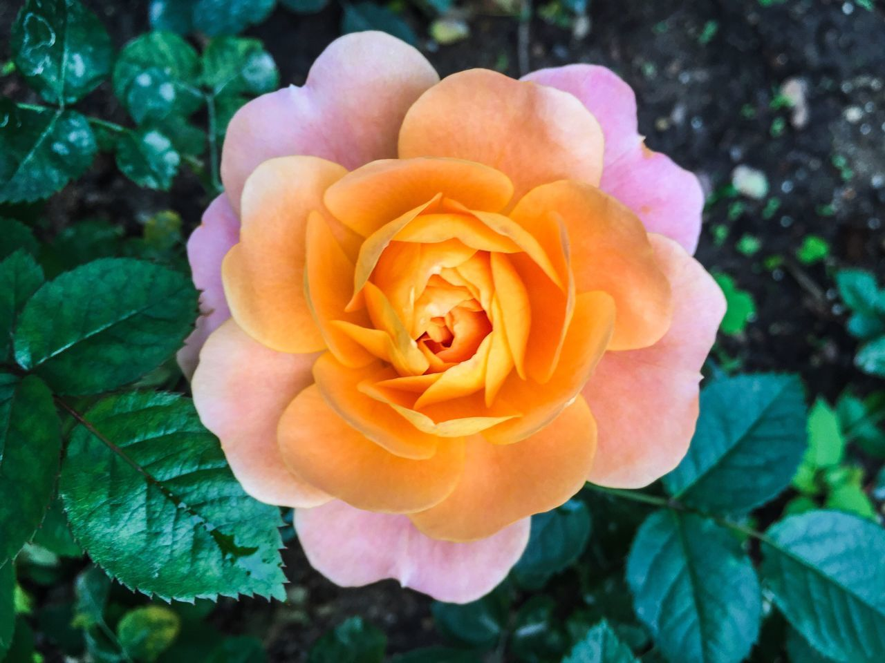 flower, petal, plant, flower head, nature, rose - flower, fragility, beauty in nature, outdoors, leaf, growth, close-up, no people, blooming, freshness, day