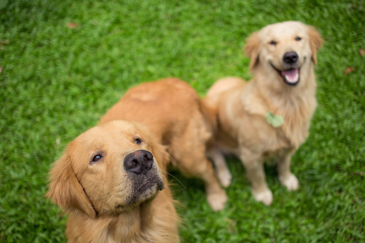 High angle view of golden retrievers on grassy field