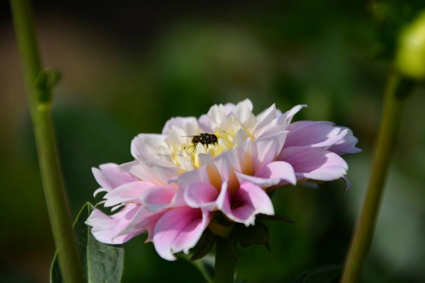 Flower Head Flower Pink Color Insect Petal Peony  Animal Themes Close-up Plant