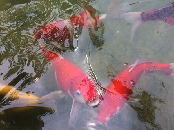 fancy carp fish in pool Multi Colored Colorful Color Pool Animal Fancy Carp Fish Fancy Carp Carp Fish Fish Water Fish Animal Themes High Angle View Carp Outdoors Day Nature