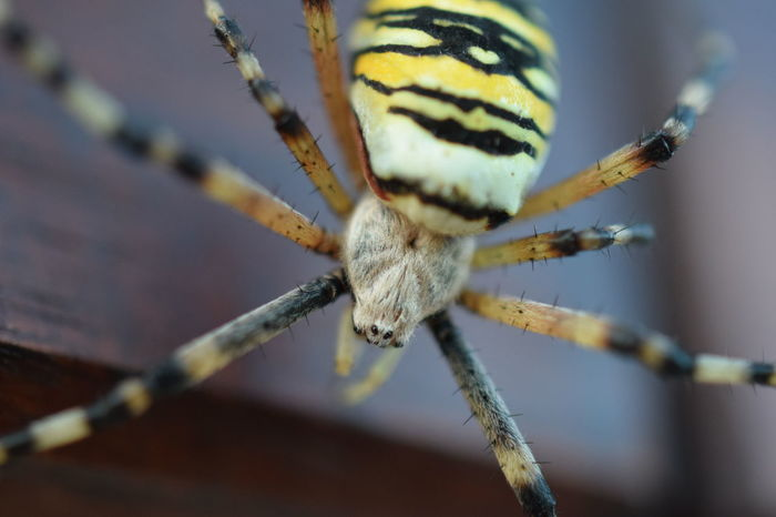Argiope Argiope Animal Themes Animal Wildlife Animals In The Wild Close-up Day Focus On Foreground Insect Nature No People One Animal Outdoors Spider Spider Web