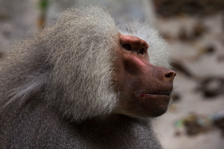 Close-Up Of Baboon Looking Away