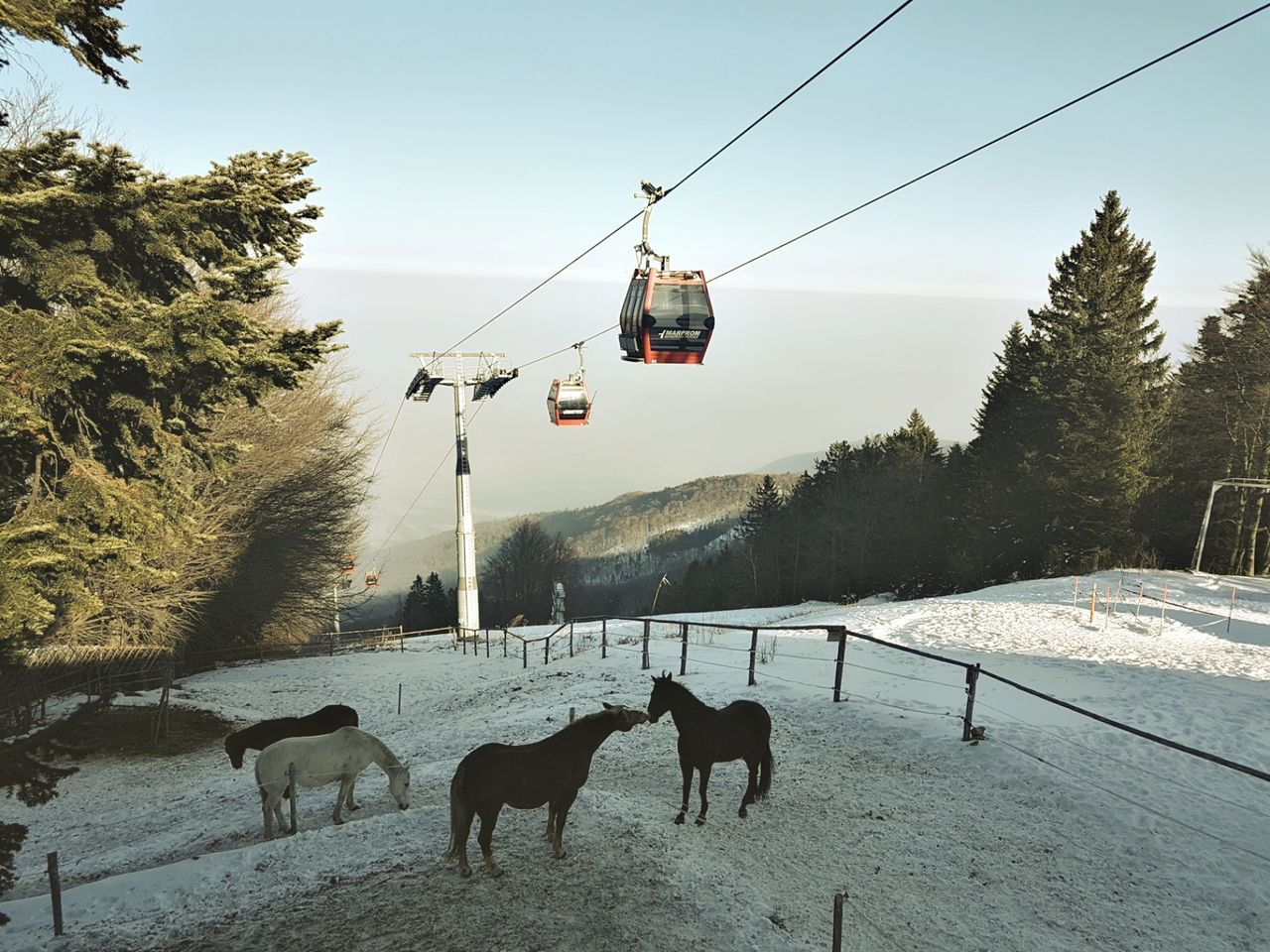 cold temperature, snow, winter, nature, tree, transportation, cable, sky, day, field, outdoors, beauty in nature, ski lift, mammal, landscape, overhead cable car, domestic animals, scenics, mountain, animal themes, no people