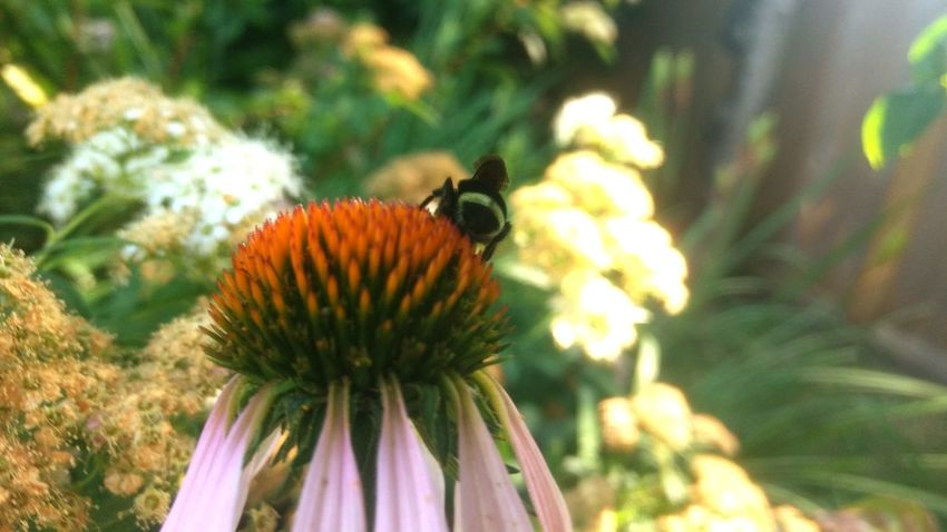 Flower Head Eastern Purple Coneflower Flower Pollination Bee Coneflower Thistle Insect Petal Perching Bumblebee Buzzing Symbiotic Relationship Honey Bee APIculture Blooming In Bloom Pollen Stamen Passion Flower Animal Antenna