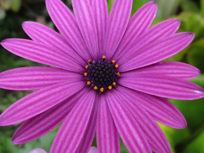 African Daisies Daisies Daisy Winter Flowers African Daisy Beauty In Nature Blooming Close-up Day Flower Flower Head Fragility Freshness Growth Nature No People Osteospermum Outdoors Petal Pink Color Plant Pollen Purple Purple Flower
