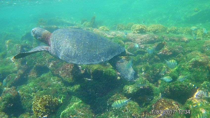 Sea turtle Snorkeling Sea Life Underwater Turtle Animals In The Wild UnderSea Swimming One Animal Sea Turtle Sea Animal Themes Water Animal Wildlife Nature High Angle View No People Day Beauty In Nature Reptile Tortoise Outdoors Go Higher
