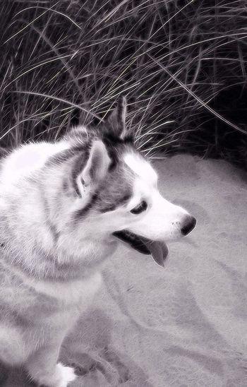 Skye my Siberian Husky Siberianhusky Husky Dog