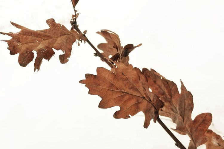 Close-up of dry maple leaves against sky