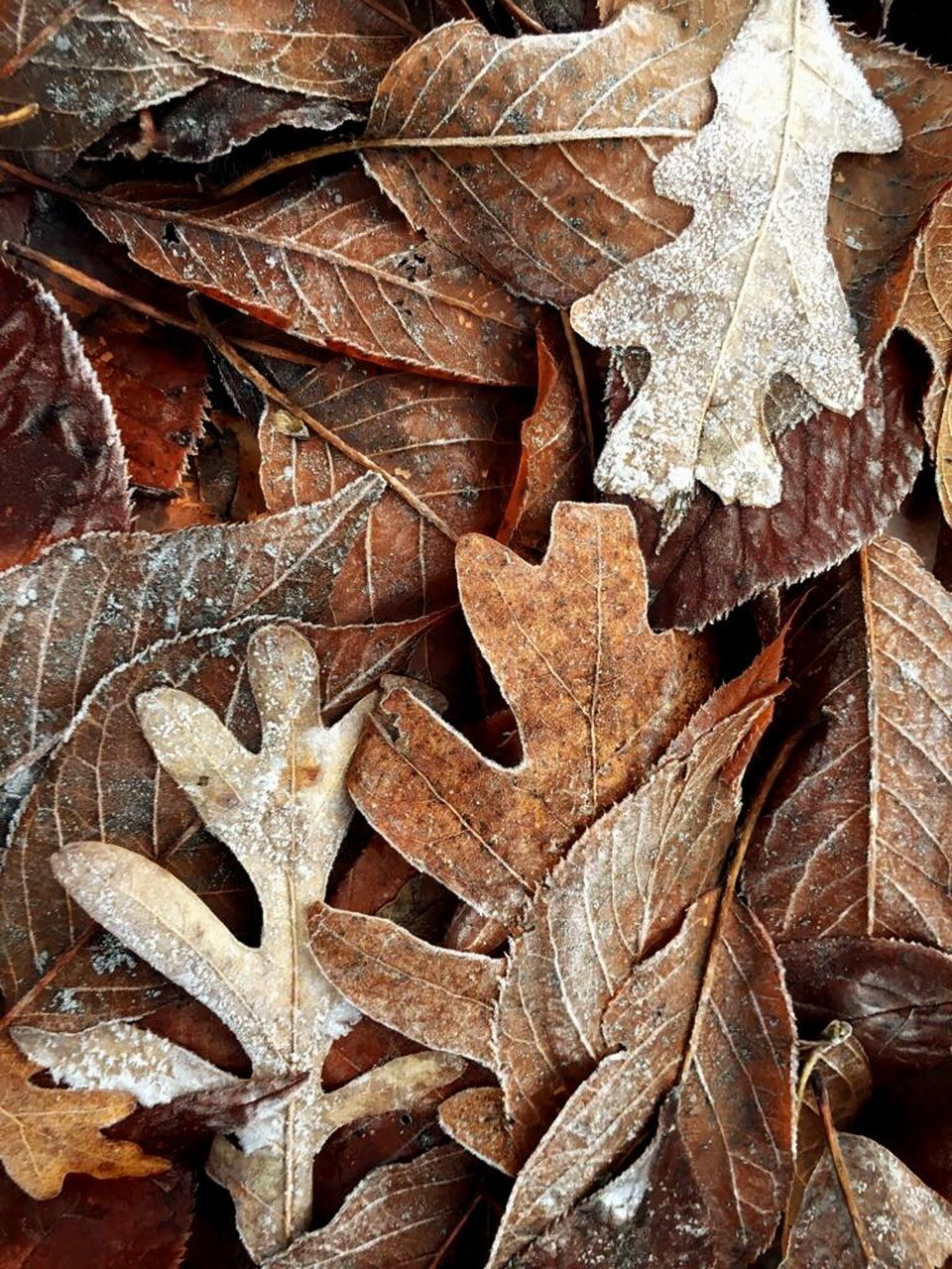 leaf, full frame, autumn, no people, wood - material, brown, close-up, day, outdoors, backgrounds, nature, winter