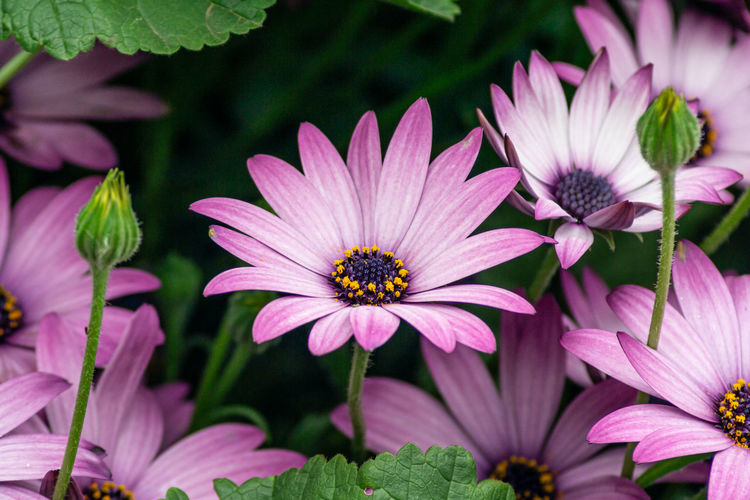 Close up of purple flowers in bloom. Flowering Plant Flower Vulnerability  Petal Plant Growth Fragility Freshness Beauty In Nature Flower Head Inflorescence Close-up Pollen Plant Part No People Osteospermum Leaf Nature Focus On Foreground Pink Color Purple Gazania