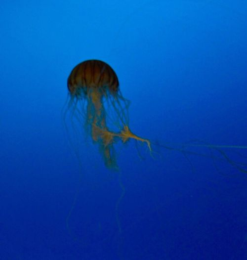Jellyfish Blue Water Underwater Sea Animal Themes Animals In The Wild Animal Wildlife Nature Sea Life UnderSea Animal