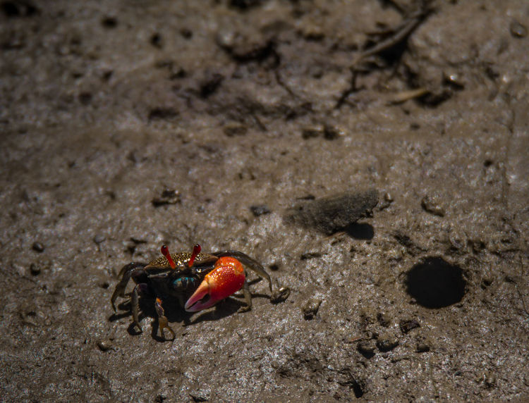 Close-up Crab Day Focus On Foreground Ground Mangrove Crab Mangrove Forest Mangrove Life Nature No People Outdoors Selective Focus Small Crab