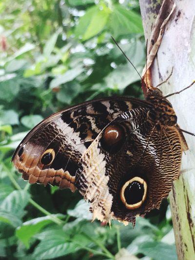 Caligo do./ Owlbutterfly Animals In The Wild Animal Wildlife Animal Themes Animal One Animal Invertebrate