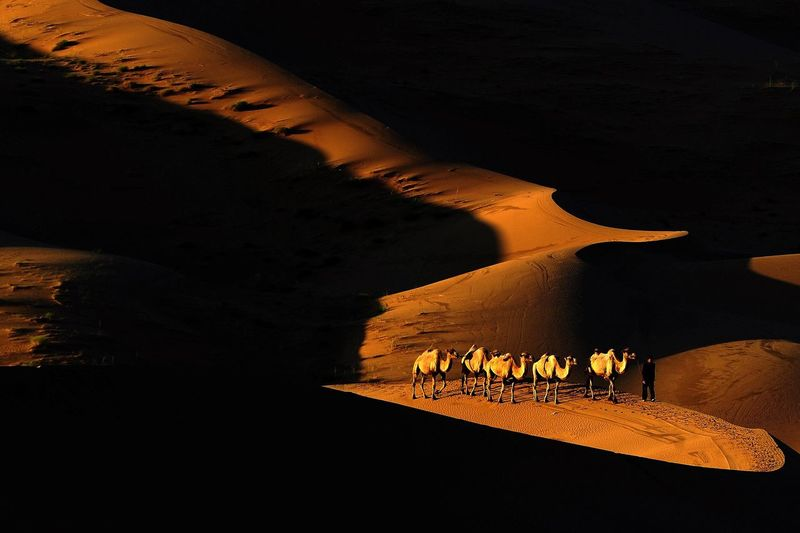 Camels With Driver Walking At Desert