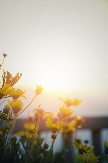 Yellow cosmos against the sunset light Flowers Sky Plant Beauty In Nature Nature Flowering Plant Flower Growth Sunlight Freshness Sunset Focus On Foreground Tranquility Close-up Sun
