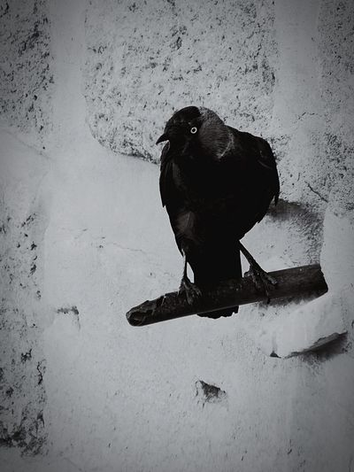Black bird on wall