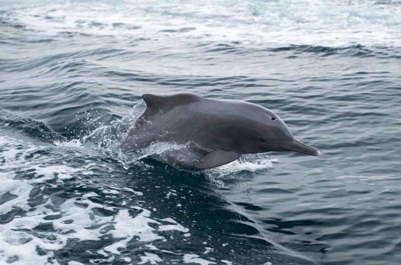 Musandam Oman Animal Animal Wildlife Animals In The Wild Dolphin Jumping Khasab Fjord Motion Outdoors Sea Sea Life Swimming