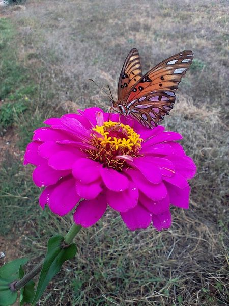Beautiful Fritillary Butterfly Mosaic Zinnia  Beauty In Nature Beauty In Nature Bold Colors Butterfly Butterfly - Insect Butterfly Collection Butterfly On Flower Eyyem Naure Lover Flower Flower Head Fritillary Nature_collection Pollination Silver Colored Zinnia Flower Zinnia Plant Nature