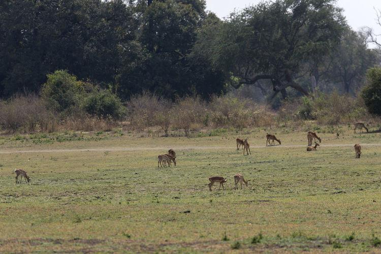 Flock of impalas grazing in a field