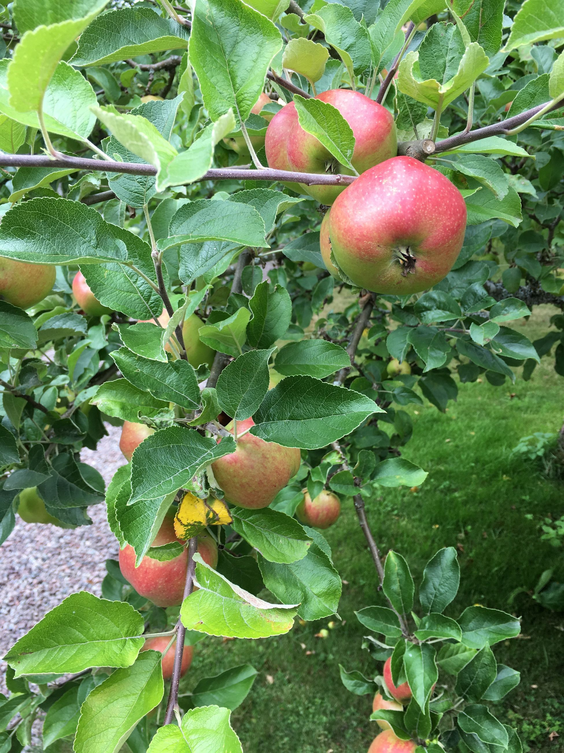fruit, food and drink, food, growth, healthy eating, freshness, leaf, close-up, green color, apple - fruit, red, organic, nature, agriculture, day, outdoors, growing, vibrant color, beauty in nature