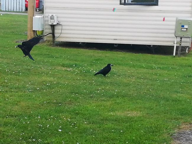 Greedy crows getting bread. Bird