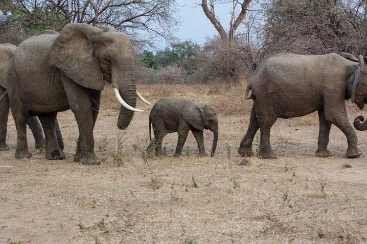 Elephants Walking On Field