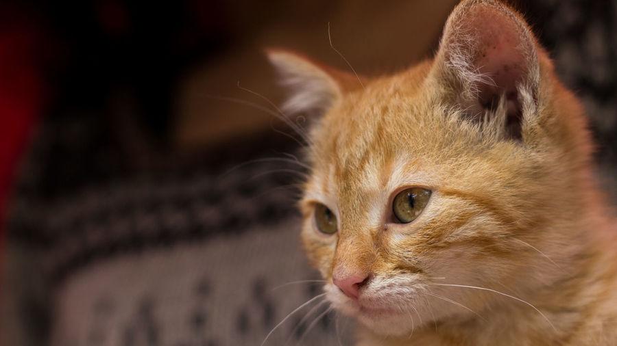 Gatico Animal Animal Eye Animal Head  Animal Themes Cat Close-up Domestic Domestic Animals Domestic Cat Feline Kitten Looking Looking Away One Animal Pets