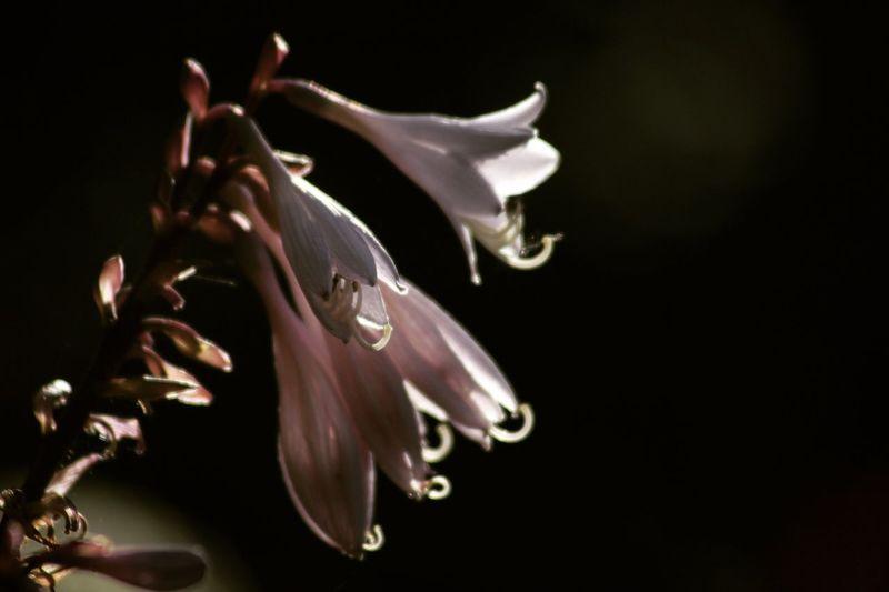 Flower Hosta