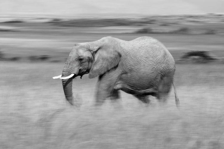 Mono slow pan of african elephant walking