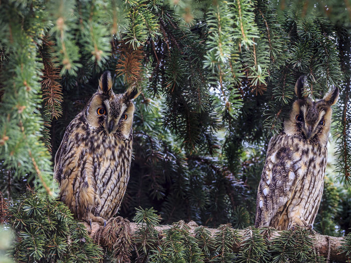 Two long-eared owls trying to stare me down from a pine tree in Túrkeve, Hungary. They were pretty good at it :-) Tree Animal Themes Animal Plant Vertebrate Animal Wildlife Animals In The Wild Bird Of Prey Bird No People Nature Owl Day Growth Perching Land Focus On Foreground Portrait Outdoors Pine Tree Coniferous Tree Longeared Owl Hungary