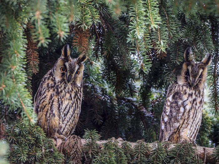 Portrait of owls perching on tree